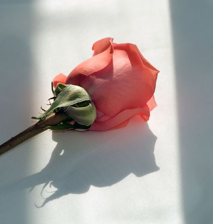 single unopen coral rose with partial stem Stock Photo