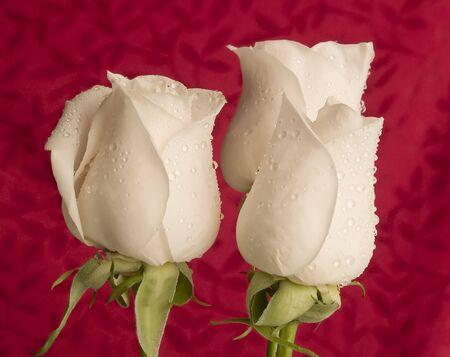 3 white roses on red