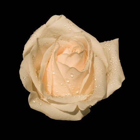 isolated single white rose on black Stock Photo