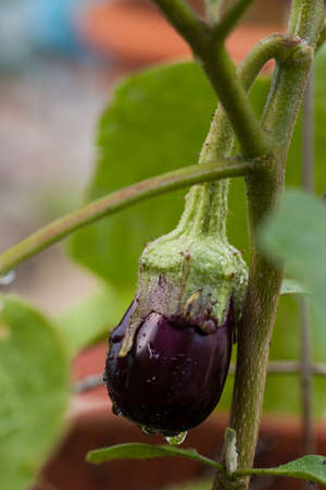 Potted eggplant with water droplets