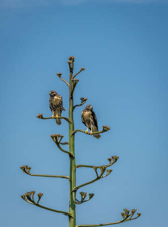 Two Hawks in an Agave Tree