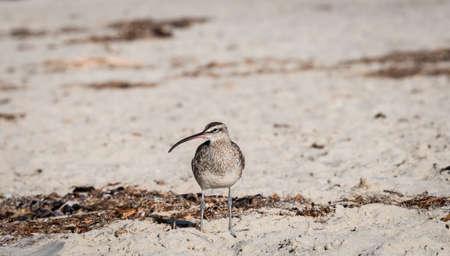Whimbrel, shore bird standing on the beach Stock Photo