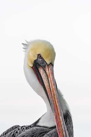 Brown Pelican Portrait Stock Photo