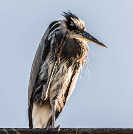 Great Blue Heron Thinking
