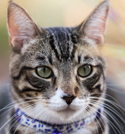 Tabby Cat Portrait Close Up with Collar on. Stock Photo