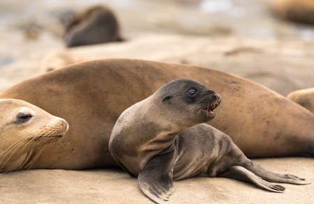 Sea Lion Pup and Mom sitting on the rocks in La Jolla, California, USA