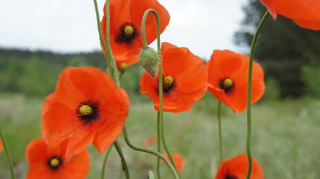 The Poppies Red Flower In The Field.