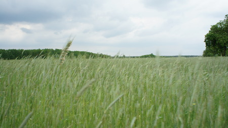 the wheat plant green color stock photo picture and royalty free