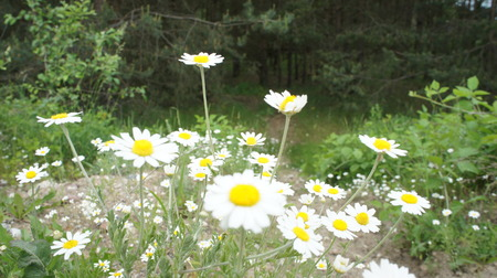 White Flower camomile in field.