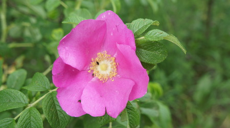 Pink Flower Rose In The Field. Stock Photo