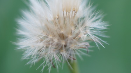 Close up of dandelion flower isolated on green background
