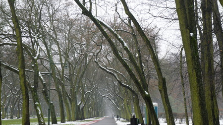Winter Snow Trees, Park Road, White Alley Tree Rows convergence