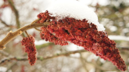 Frozen tree branch in the park with red flowers in the snow background.