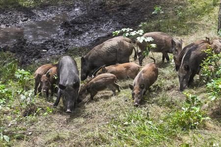jabali: Cerdo salvaje en el bosque