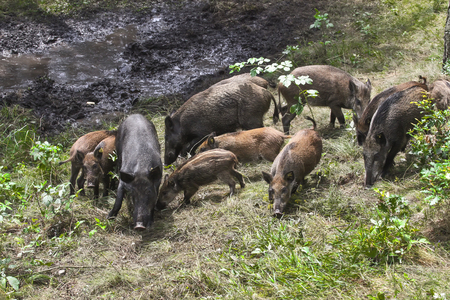 omnivores: Wild pig in the forest