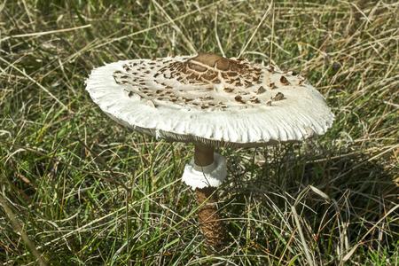 parasol: Parasol Mushroom (Macrolepiota Procera)