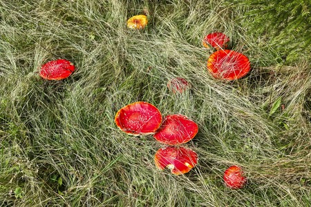 Red mushroom (Amanita Muscaria also known as Fly Ageric or Fly Amanita) in autumn forest photo