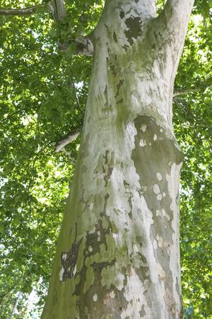 arbre Platanus