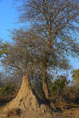 south africa soil: Termite nest Stock Photo