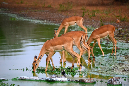 Impala from National park Kruger - South Africa Stock Photo - 55900814