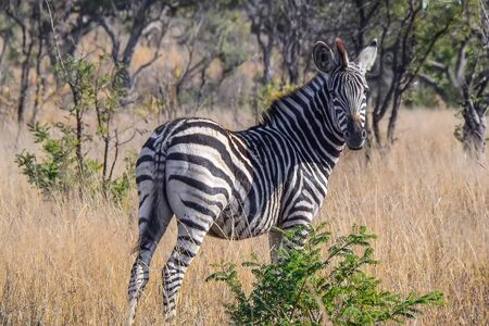 burchell: Zebra in the Kruger National park - South Africa