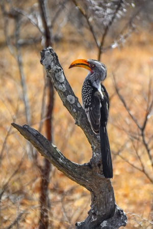savana: Hornbill in Kruger National park - South Africa Stock Photo
