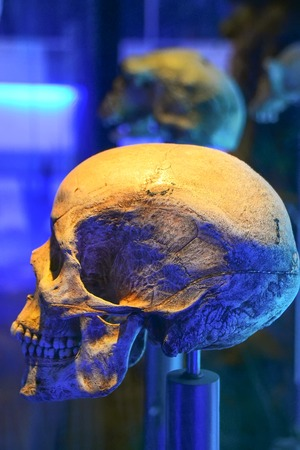 erectus: Skulls from the museum in Sterkfontein, South Africa