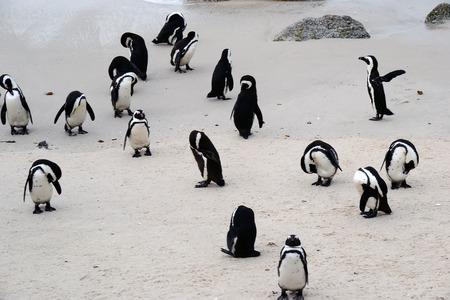 penguins on beach: Penguins on the beach, Simons town, South Africa Stock Photo