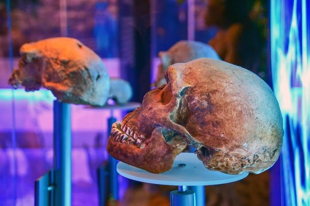 Skulls from the museum in Sterkfontein, South Africa