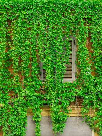 decorative balcony: Window on the old building in Rome, covered by ivy. Stock Photo
