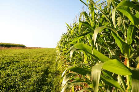Borde del campo de maíz con un cielo azul brillante en el ocaso.
