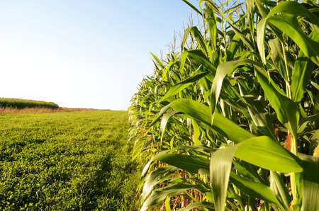 mazorca de maiz: Borde del campo de ma�z con un cielo azul brillante en el ocaso.