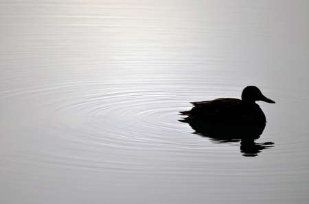 Duck Silhouette and beautiful water ripples. photo