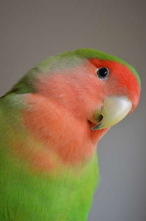 faced: A close-up of a Peach-faced Lovebird Agapornis Stock Photo
