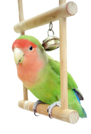 faced: Peach-faces lovebird sitting on a swing
