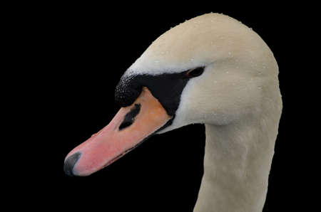 A swan portrait, isolated on a black background. photo