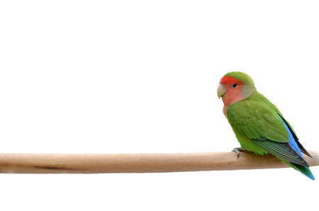 Parrot sitting on a stick, isolated on white background. photo