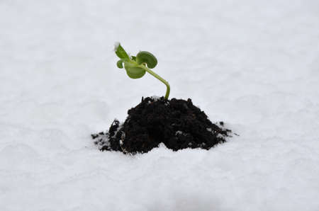 New green plant growing out of snow, representing a new life concept. photo