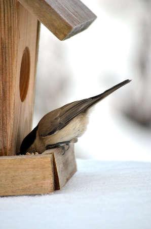 feeder: A bird Chickadee in winter eating from birdhouse feeder