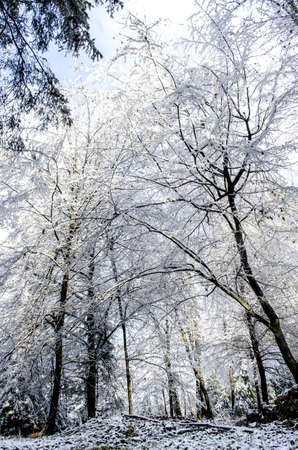 Trees covered with snow on a sunny day representing a nice winter scene  photo