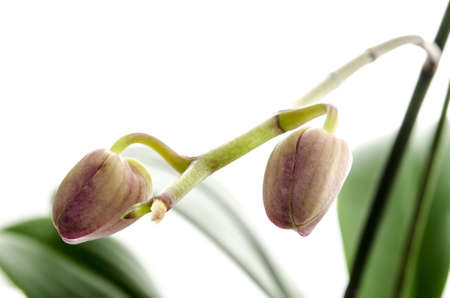 undeveloped: Closeup of undeveloped buds of Orchid flower  Isolated on a white background  Stock Photo