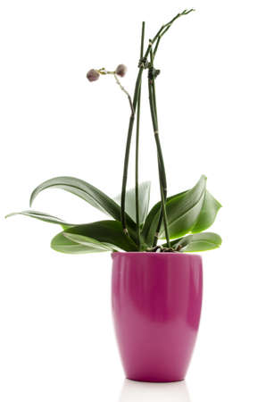 undeveloped: Whole Orchid in a pink pot with undeveloped buds which have not yet bloomed into a full-sized flower  Isolated on white