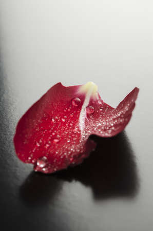 Closeup of a red rose petal with dew drops representing romance concept  photo