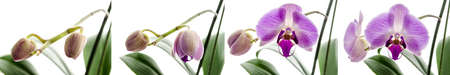 Four stages of growth with Orchid flower isolated on a white background. photo