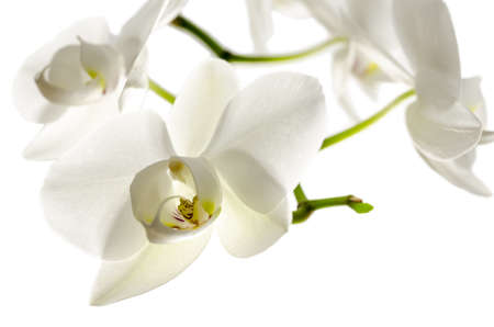 Orchid flower isolated over white background