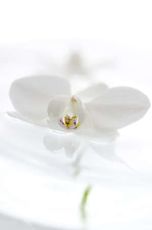 white orchid: White orchid flower floating on the water  Over white background