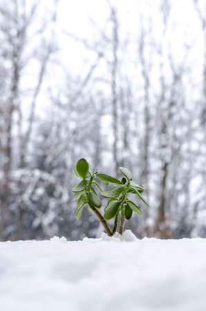 Young green plant in the winter growing out of snow  photo