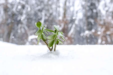 Young green plant in the winter growing out of snow  Stock Photo - 18155777