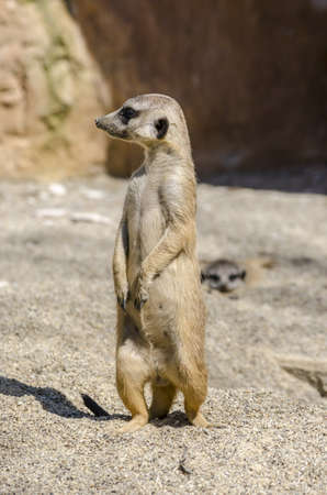 vigilant: Side view of standing suricate on the lookout