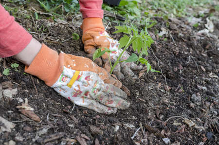 Closeup of female hands in gloves planting a tomato seedling   photo
